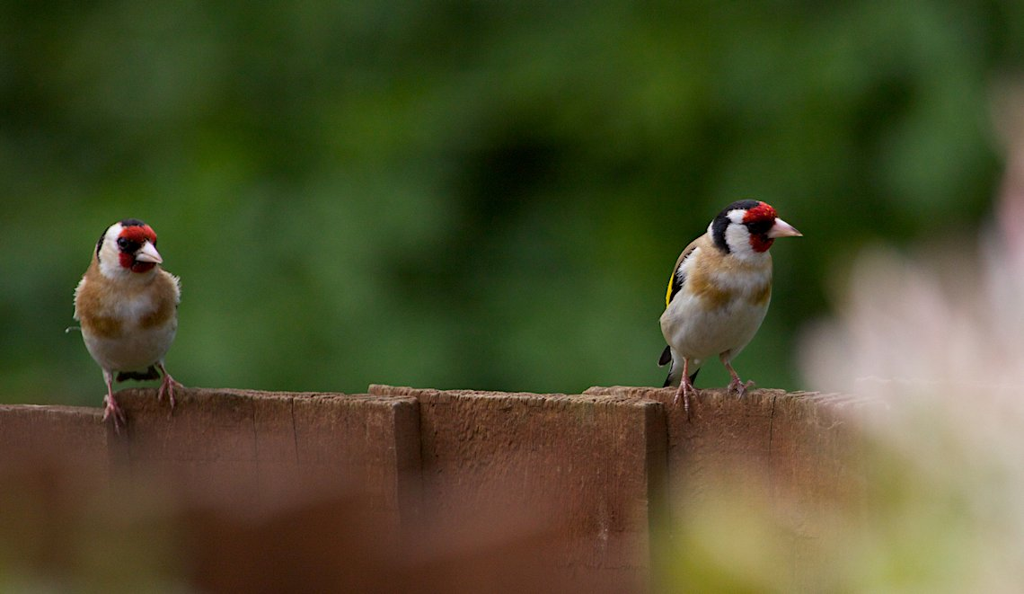 Goldfinch �S�V�L�q��